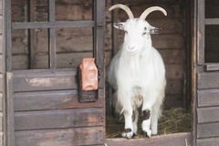 Cashmere Goat. Looking out of his wooden house royalty free stock image