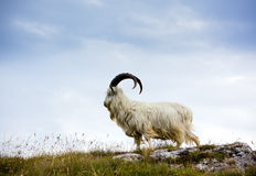 Cashmere goat at North Wales Royalty Free Stock Photo