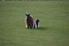 Cashmere goat with three children royalty free stock images