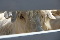 Cashmere Goat royalty free stock images