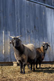Cashmere Goats Royalty Free Stock Photography