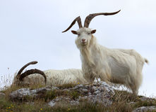 Cashmere goats. At Great Orme, North Wales Royalty Free Stock Image