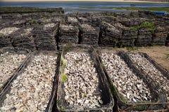 Casiers métalliques avec les huîtres vides de coquille Photographie stock