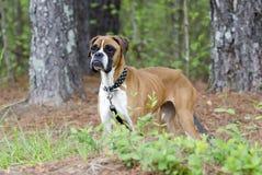 Caso animal de la crueldad del perro flaco del boxeador Imagenes de archivo