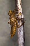 Caso della larva della libellula Fotografia Stock Libera da Diritti
