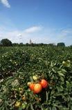 Casoni. Codigoro (Fe),Emilia Romagna,Italy,  a field of tomatoes Royalty Free Stock Photo