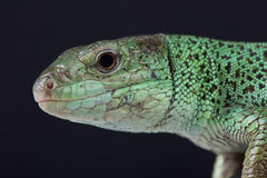 Caspian green lizard / Lacerta strigata Royalty Free Stock Image