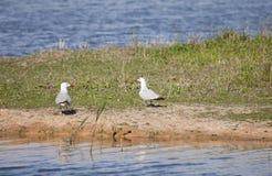 The Caspian Gull Stock Photos