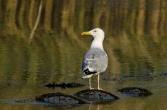 Caspian Gull Royalty Free Stock Photo