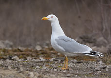 Caspian Gull Royalty Free Stock Images