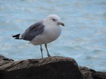 Caspian gull on background of the sea. Caspian gull on the background of the blue sea. Close-up stock photos