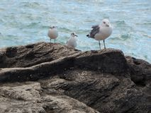 Caspian gull on background of the sea. Caspian gull on the background of the blue sea. Close-up royalty free stock photography