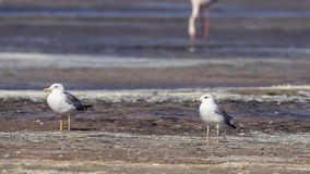 Caspian Gull Royalty Free Stock Photo