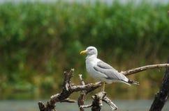 Caspian Gull on a dead tree Royalty Free Stock Photo