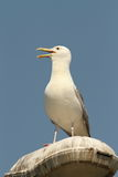 Caspian gull on electric pile Royalty Free Stock Photography