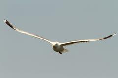 Caspian gull in flight Stock Image