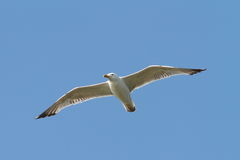 Caspian gull flying over the sky Stock Images
