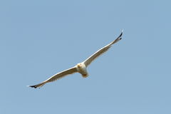 Caspian gull flying towards the camera Royalty Free Stock Image