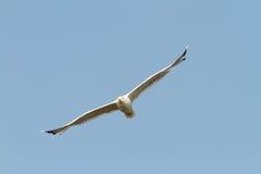 Caspian gull flying towards the camera Royalty Free Stock Image