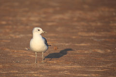 Caspian Gull  (Larus cachinnans) Stock Photo