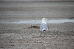 Caspian Gull Larus cachinnans, adult yellow-legged gull Royalty Free Stock Images