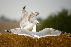 Two Caspian gulls Larus cachinnans fight. The Caspian gull Larus cachinnans fight Stock Photo