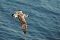 Caspian gull Larus cachinnans in flight.  Stock Photos