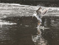 Caspian Gull Stock Images