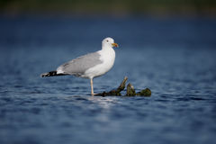 Caspian gull, Larus cachinnans Stock Photography