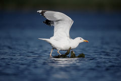 Caspian gull, Larus cachinnans Stock Photo
