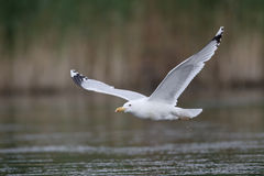 Caspian gull, Larus cachinnans Royalty Free Stock Images