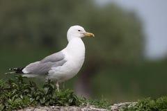 Caspian gull, Larus cachinnans Stock Image