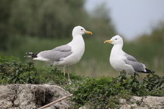 Caspian gull, Larus cachinnans Royalty Free Stock Photo