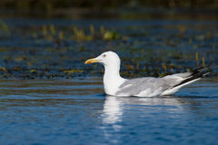 Caspian Gull On Water