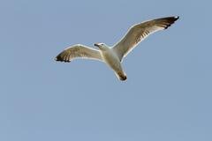 Caspian gull over blue sky Royalty Free Stock Photos