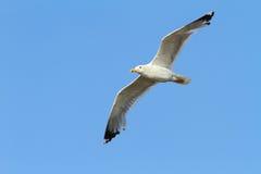 Caspian gull over colorful sky Stock Photos