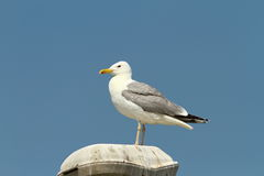 Caspian gull resting Royalty Free Stock Photos