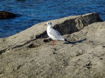 Caspian gull. Royalty Free Stock Images