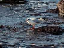 Caspian gull. Stock Photos