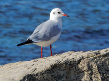 Caspian gull. Royalty Free Stock Image