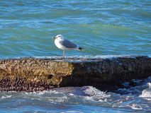 Caspian gull. Stock Images