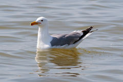 A Caspian Gull seagull settled on the sea. Stock Photography