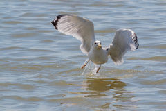 A Caspian Gull seagull taking off in flight from the sea. Royalty Free Stock Images
