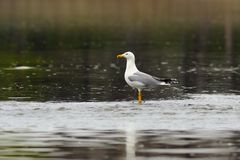 Caspian gull in shallow waters Royalty Free Stock Photos