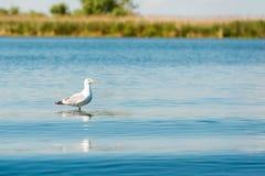 Caspian gulls, image taken in Danube Delta Royalty Free Stock Photo