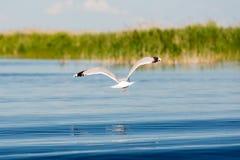 Caspian gulls, image taken in Danube Delta Royalty Free Stock Image