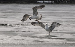Caspian Gulls Royalty Free Stock Photo