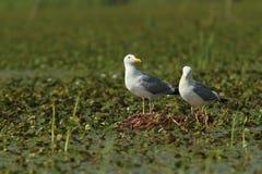 Caspian gulls on the nest Stock Images