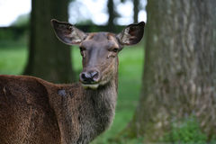 Caspian Red Deer Stock Photography