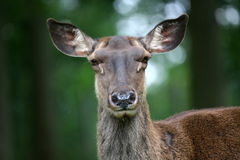 Caspian Red Deer Royalty Free Stock Images